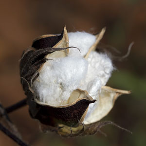a white cotton boll